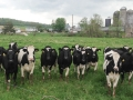 Cow meeting