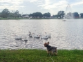 Max with the geese