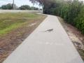 Iguana take over