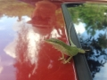 Lizard hanging out on the roof of my Uncle Pauls' car.