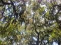Spanish moss at Circle B Bar Preserve